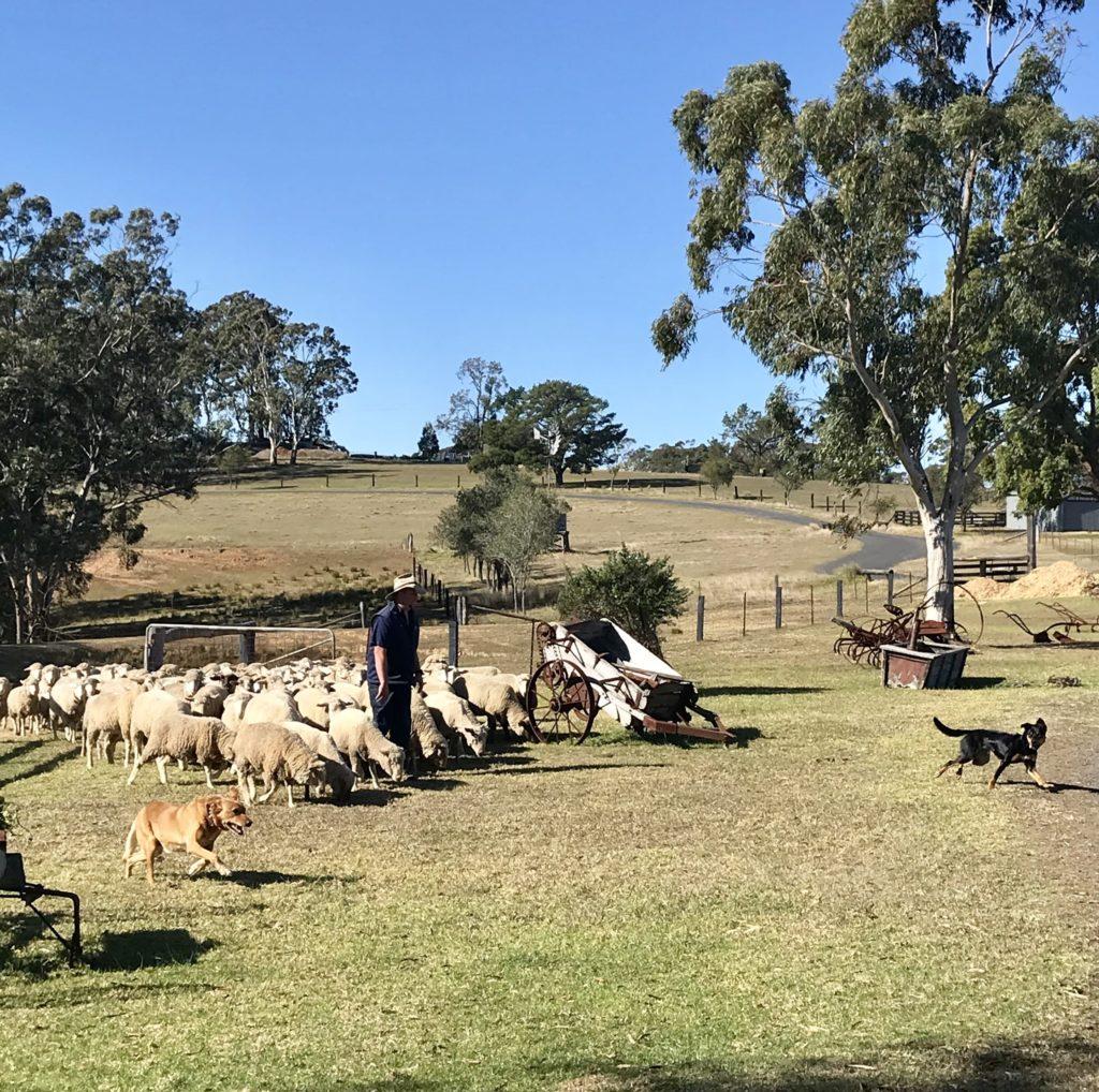 羊を誘導している羊飼い