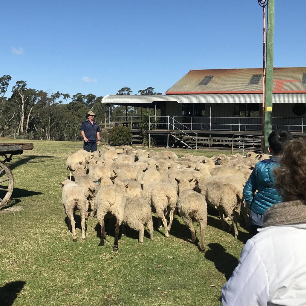 羊の前で説明をしている男性