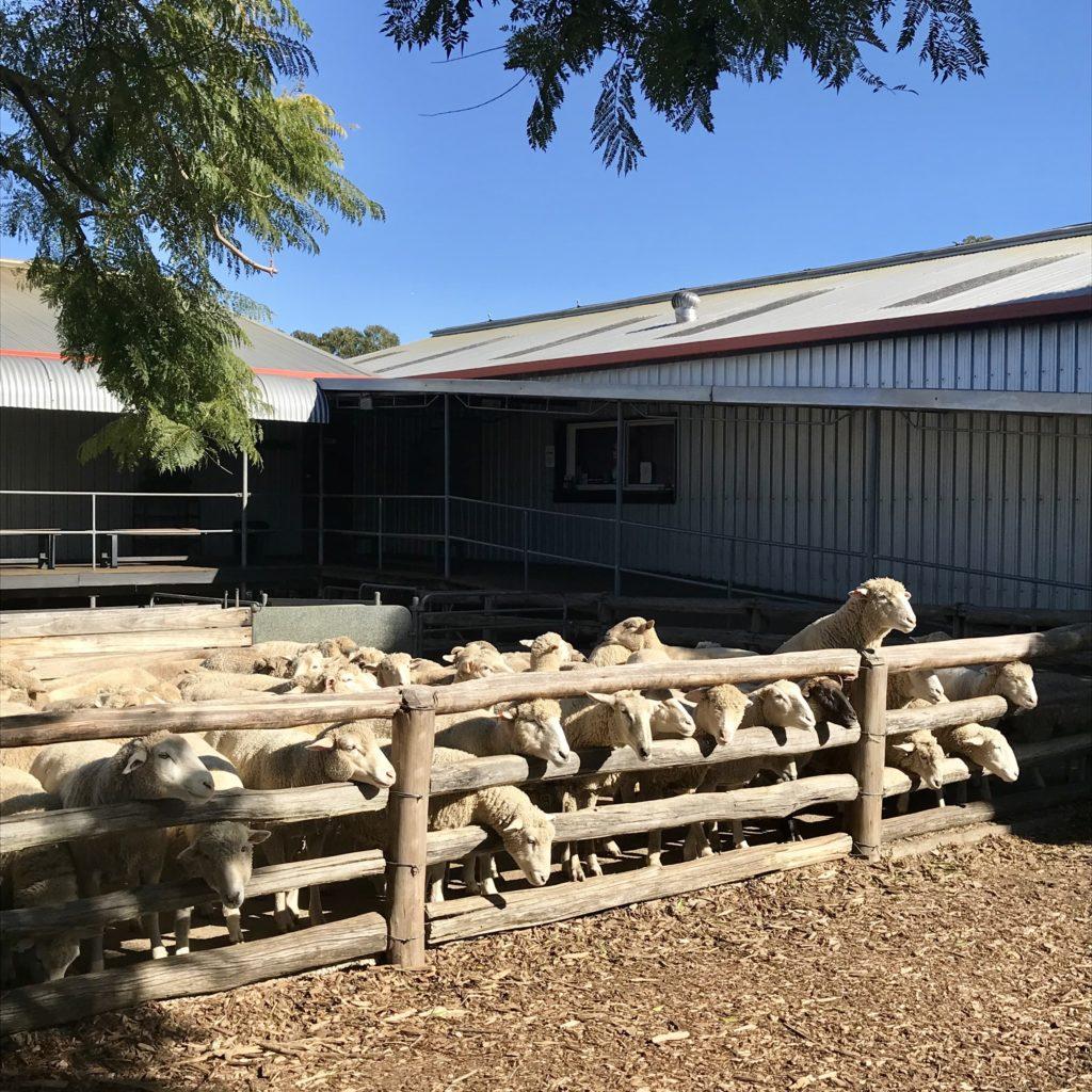 囲いの中にいる羊たち