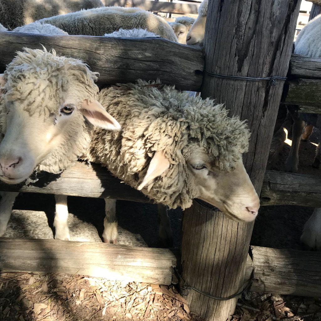 囲いから顔を出している2匹の羊