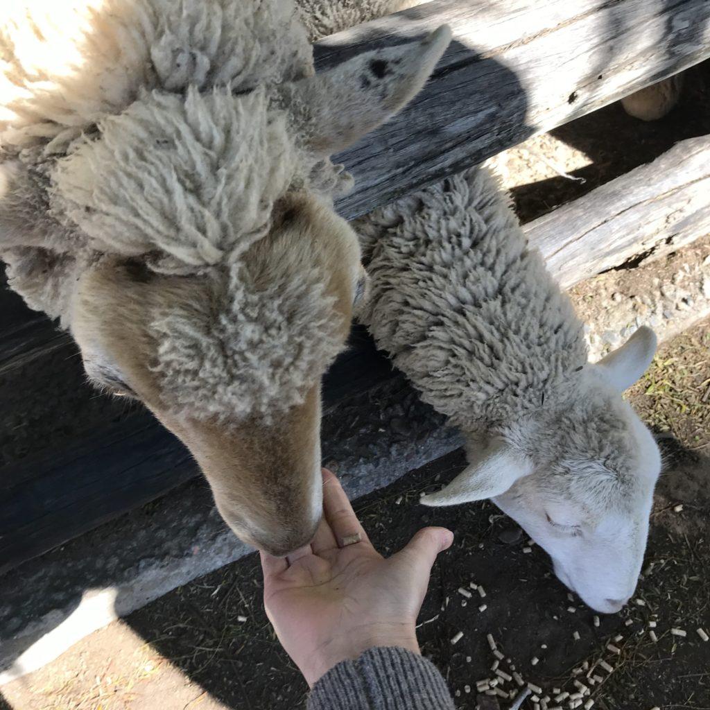 餌を食べている2匹の羊