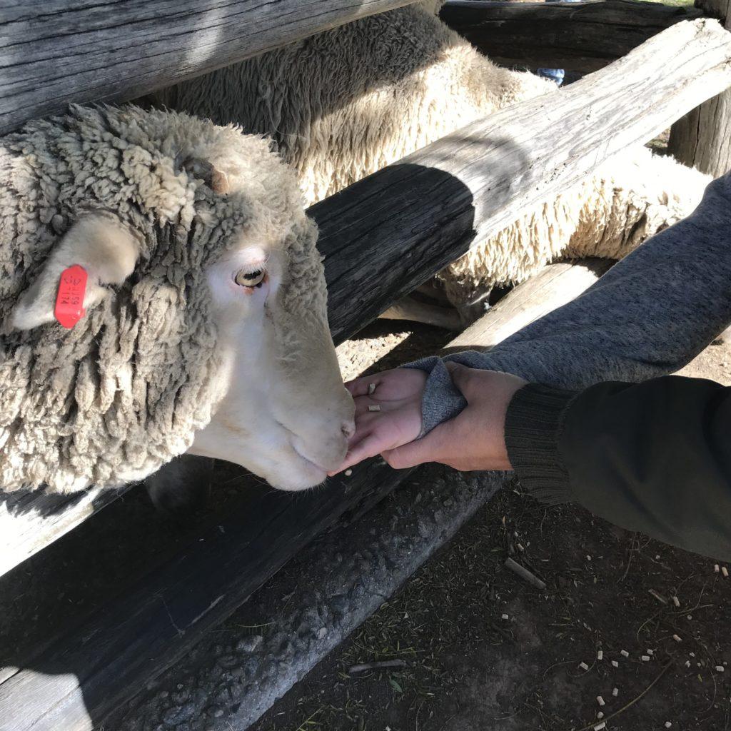 餌を食べている羊