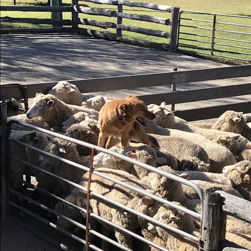 羊の上に立っている男性