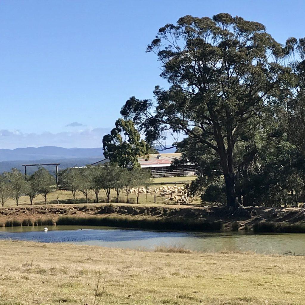 池の後ろにいる羊たち