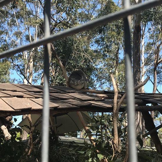 屋根の上にいるコアラ