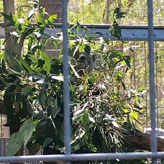 ゲージの中にいるコアラ