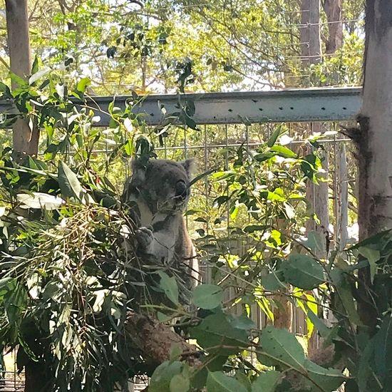 ユーカリを食べているコアラ