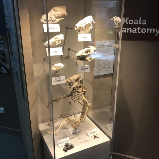 コアラの骨