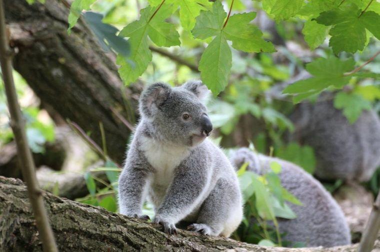 自然の中にいるコアラ