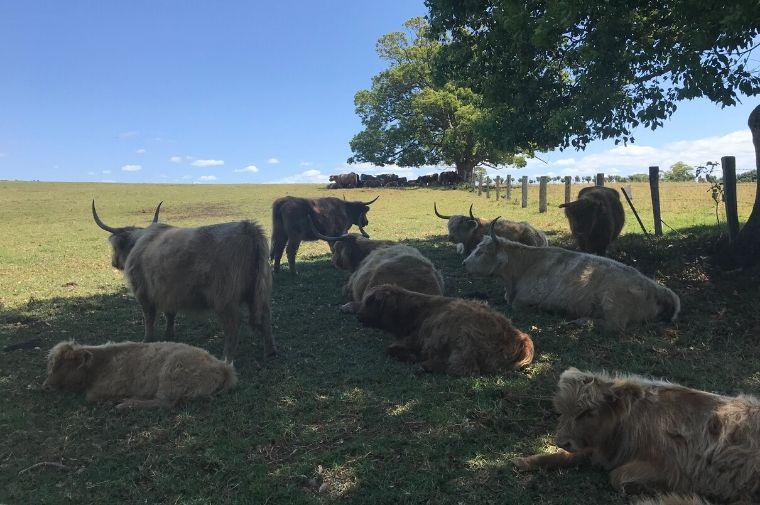木陰で休んでいる牛たち