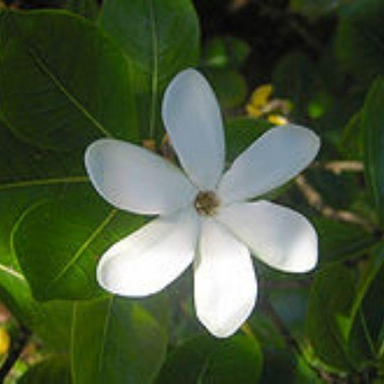 ティアレの花